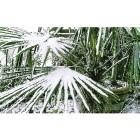 winterharte Kübelpalme 3er-Set - 101000700000 - 2 - 140px